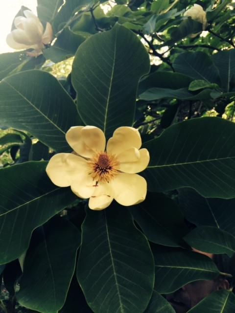 magnolia 2014